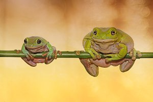 Big and Small Frogs on Twigs