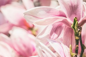 Close up of magnolia flowers