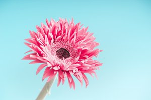 Pink flower close up at light blue