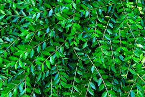 Green leaves. Green leaves backgroun