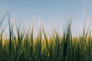 Green barley sky blue background