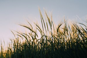 Tops of barley plant at sunset