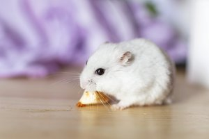 Hamster eating a piece of cheese.