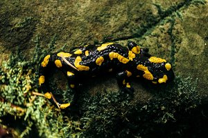 salamandra sitting on rock