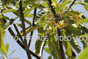 Closeup of yellow plumeria frangipani tree.
