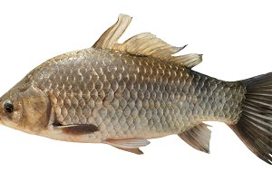Crucian carp isolated on white