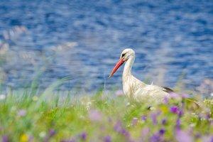 White Stork  or ciconia ciconia