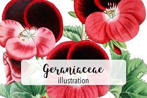Flowers: Vintage Geraniaceae