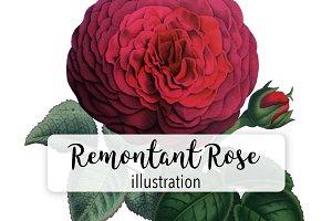 Flowers: Vintage Remontant Rose