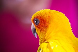 closeup head of Sun Conure