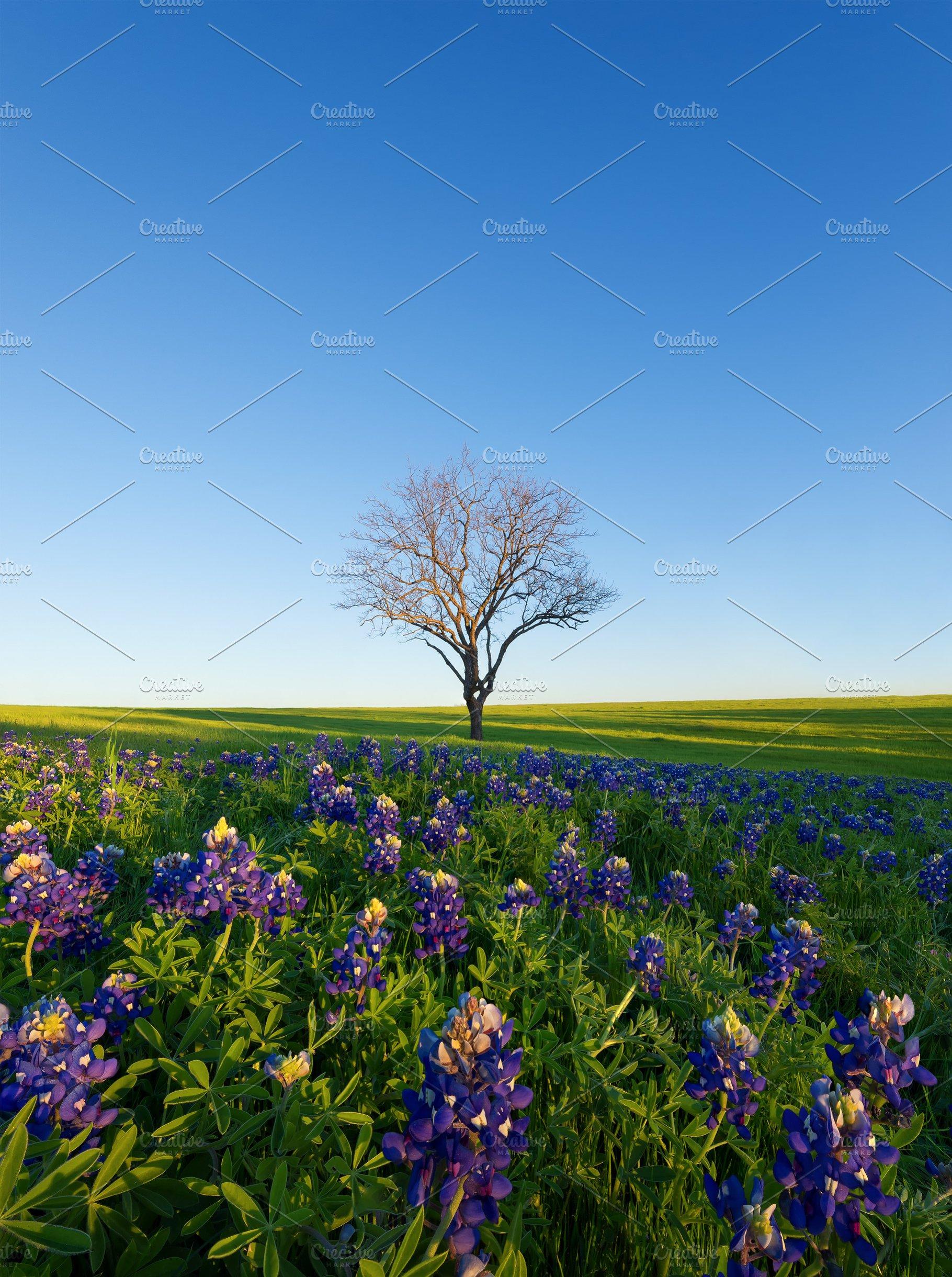 A Blue Bonnet Field Ennis Texas High Quality Architecture