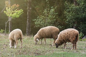 flock of sheep eating green grass
