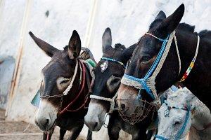 Donkeys in Fira, Santorini Island