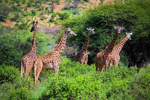 Three giraffes on savanna