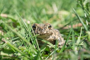 The toad on the grass
