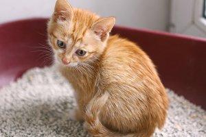 red kitten in cat litter having toilet