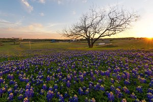 Bluebonnet flowers blooming in Irving, Texas