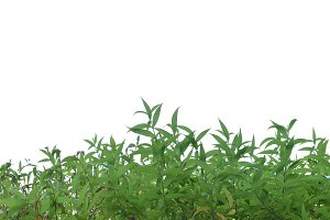 Green grass lush bush isolated on white background