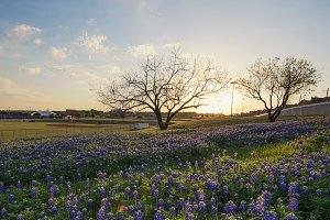 Bluebonnet flowers field in Irving, Texas