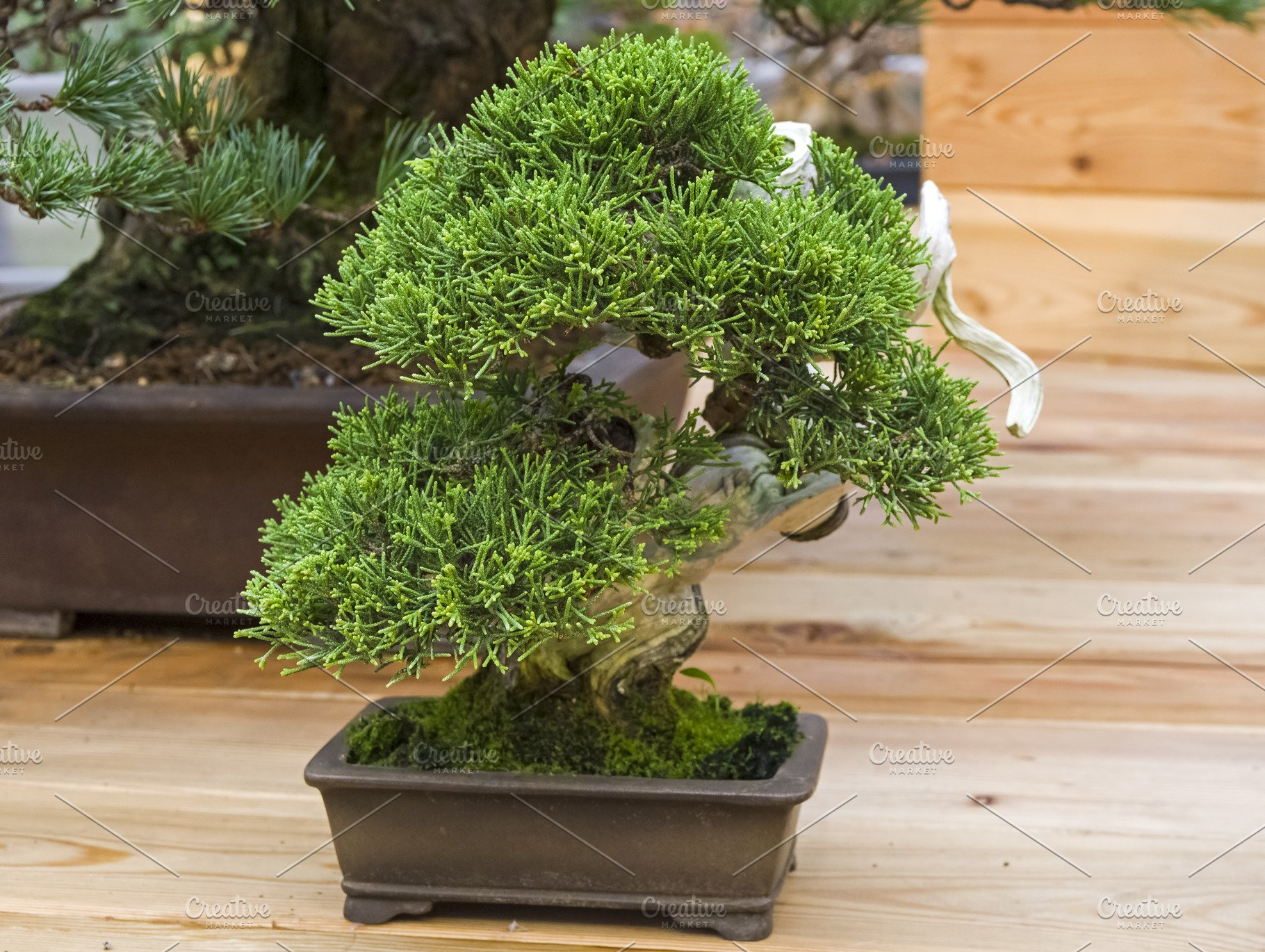 Bonsai tree - Chinese juniper