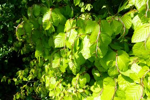 Spring Beech Leaves Green Leaf