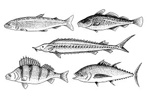 River and lake fish. Perch or bass, Scomber or mackerel, beluga and sturgeon. Sea creatures. Freshwater aquarium. Seafood for the menu. Engraved hand drawn in old vintage sketch. Vector illustration.