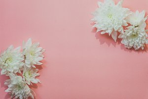 White flowers with pink background
