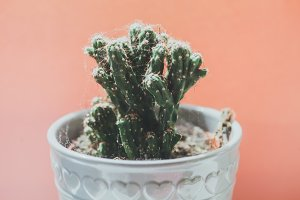 Cactus with pink peach background