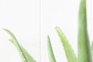 Soft Focus Aloe Plant
