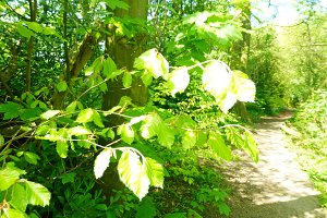 Beech Tree Woodland Path