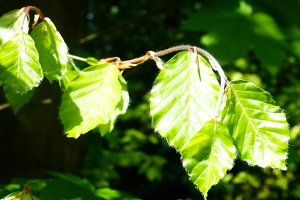 Beech Branch Lime Green Leaves