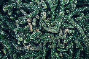 Worms cactus