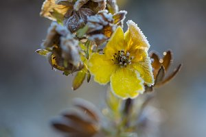 Frosty Yellow Flower