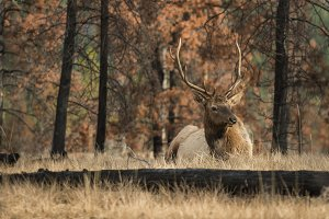 Resting Elk in Scorched Forest