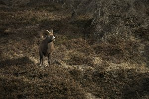 A Big Horn Sheep on Mountainside