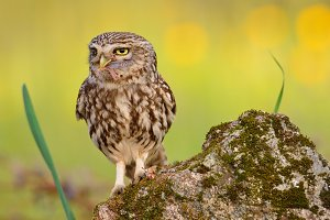 Little owl with a grasshopper