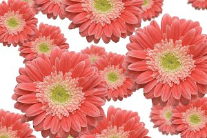 Falling Pink Gerber Daisies on White