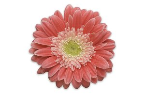 Pink Gerber Daisy Isolated on White