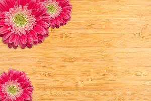 Bright Pink Gerber Daisies on Wood