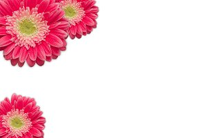 Bright Pink Gerber Daisies on White