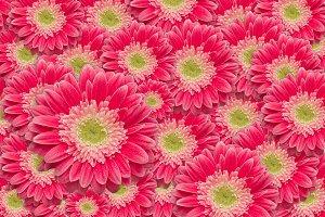 Bright Pink Gerber Daisies