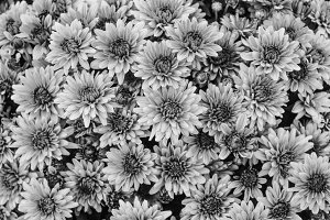 Chrysantemum Background  Black White