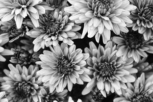 Chrysanthemum Background Black White