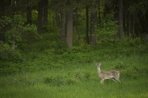 A Deer in Lush Meadow