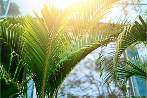 Tropical green palm trees background. Sun light effect and sunny bokeh. Summer, holiday and travel concept with copy space. Palm leaves and branches.