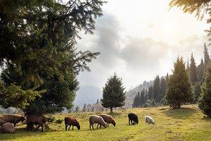 Flock of Sheep in the Alatau mountai