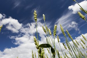 green spikelets of wheat