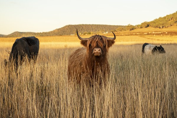 Animal Stock Photos: Rob D - Photographer - Highland cows on the farm