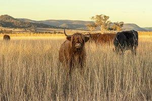 Highland cows on the farm
