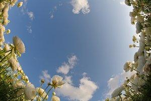 field flowers buttercups